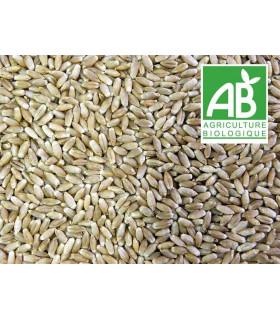 triticale, blé rustique pour l'alimenation de la volaille, bio