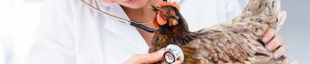 Soins naturels des volailles et de la basse cour. Soigner et prévenir.