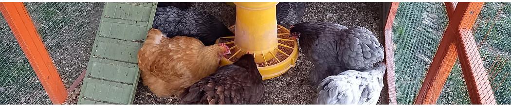 Alimentation BIO et sans OGM  pour la volaille pondeuse et d'ornement