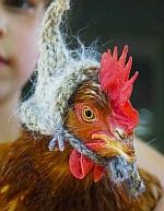 poule pondeuse avec bonnet en laine hiver