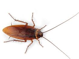 les blattes nuisibles du grain