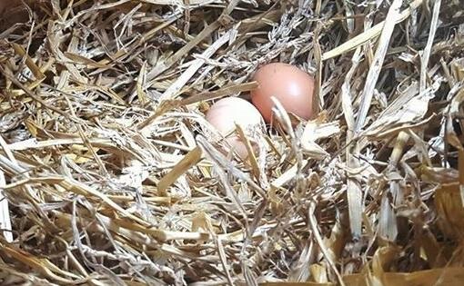 nid et oeufs de poules
