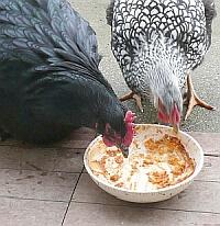 poules et recyclage des restes de table