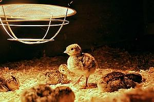 poussin sous lampe chauffante